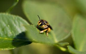 Biene auf einem Blatt