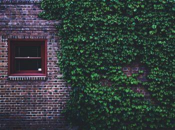Hauswand mit Fenster und Kletterpflanzen
